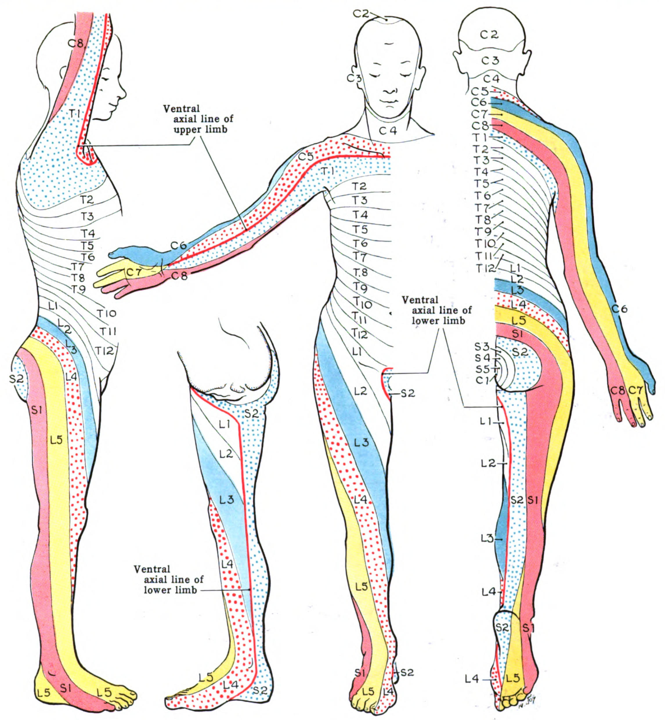 dermatomes arms and legs